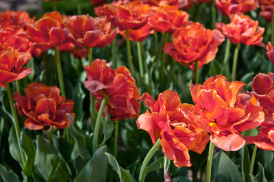 ruffled tulips