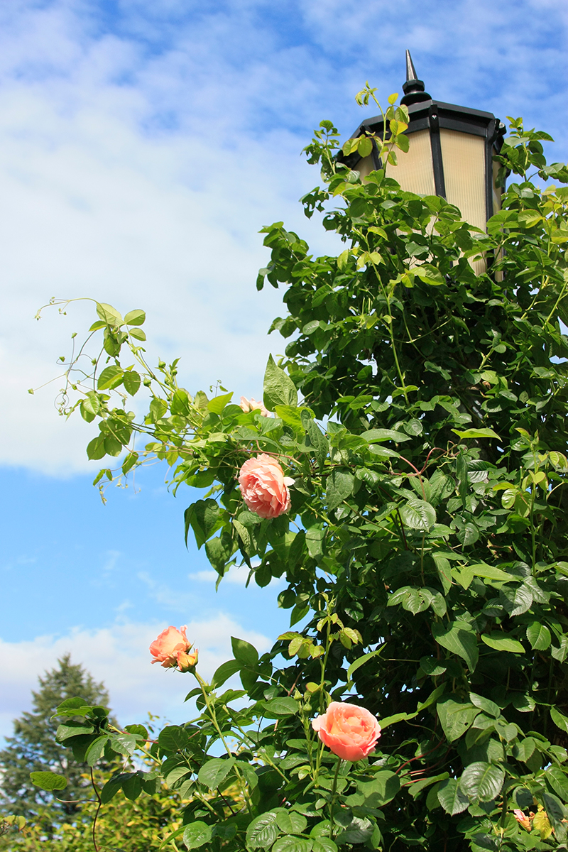 International Rose Test Garden - Portland, Oregon