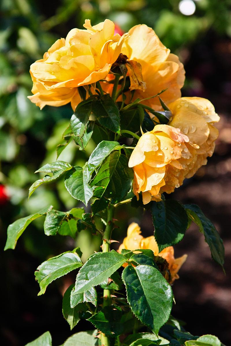 Roses In Garden: International Rose Test Garden - Portland, Oregon